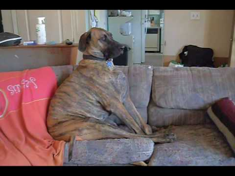 Funny Great Dane Sitting On Couch Youtube