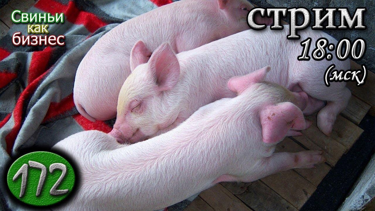 10 сентября 🔴 Свиноводческие посиделки