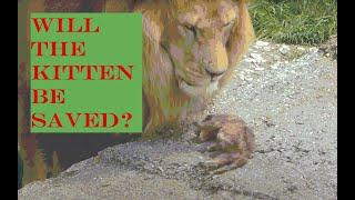 Олег Зубков спасает львёнка