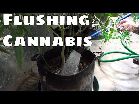 How to Flush Marijuana | Finishing Weed | Do I need to Flush Cannabis