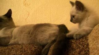 кошачья песня мяу мяу