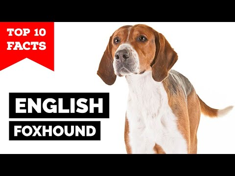 English Foxhound - Top 10 Facts