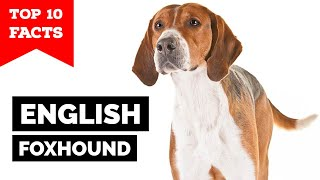 English Foxhound  Top 10 Facts