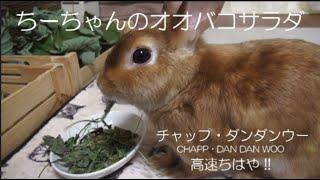 ちーちゃんのオオバコのサラダ(Dried wild grass for rabbits)