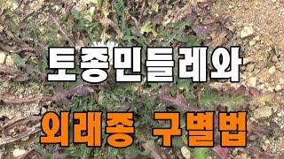 [아산TV] 토종민들레와 외래종 구별법 How to d…