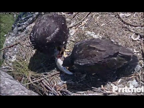 SWFL Eagles ~ Practice makes Perfect;  Self Feeding for Both 3.22.16