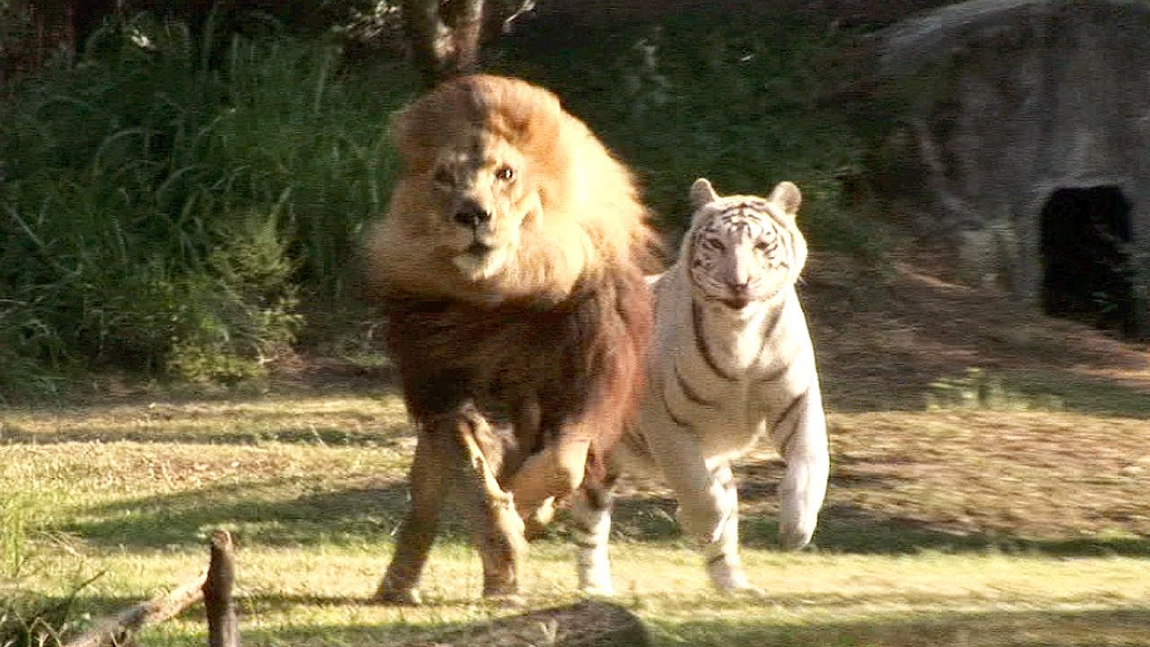 Tigers Running Together