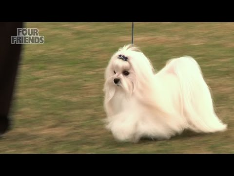 Windsor Dog Show 2015 - Toy group