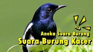 Aneka Suara Burung - Suara Burung Kacer