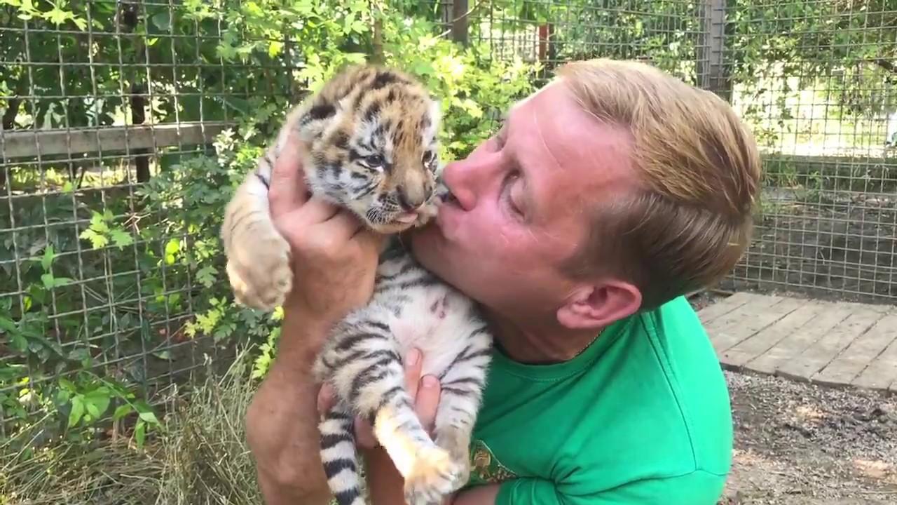 Tiger cubs love. Zita tigres cubs | Зитыны тигрята. Парк львов Тайган.