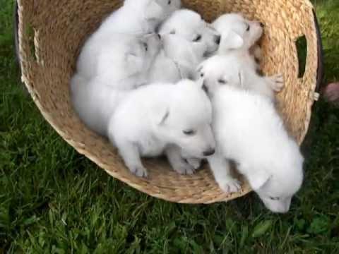 White Shepherd Puppies Michigan July 2010 Youtube