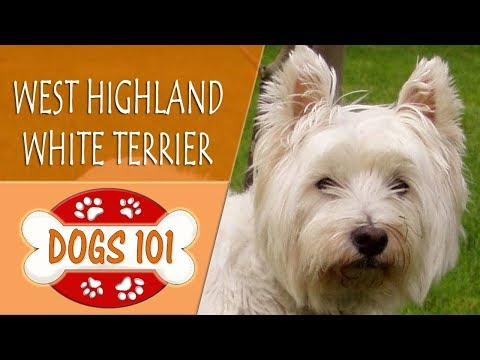 Dogs 101 - WEST HIGHLAND WHITE TERRIER  - Top Dog Facts About the WEST HIGHLAND WHITE TERRIER