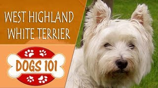 Dogs 101  WEST HIGHLAND WHITE TERRIER   Top Dog Facts About the WEST HIGHLAND WHITE TERRIER