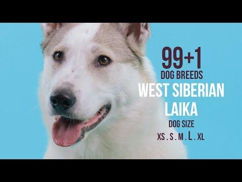 West Siberian Laika / 99+1 Dog Breeds