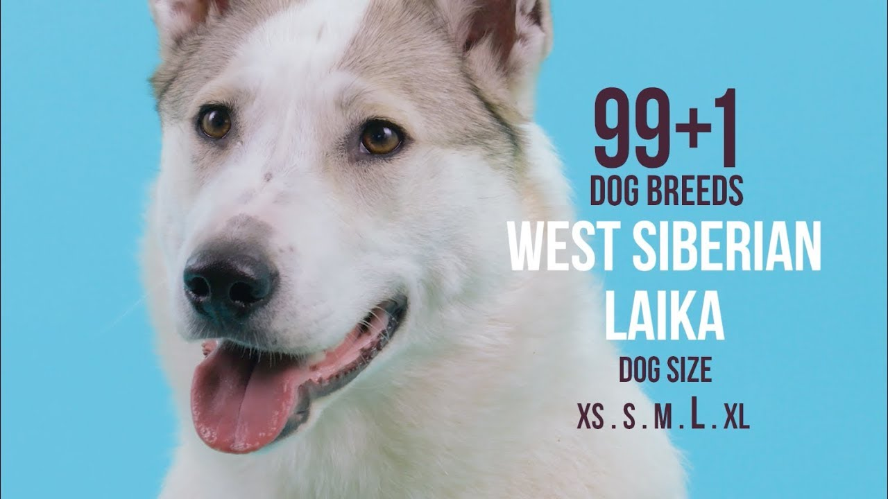 West Siberian Laika 99 1 Dog Breeds Youtube
