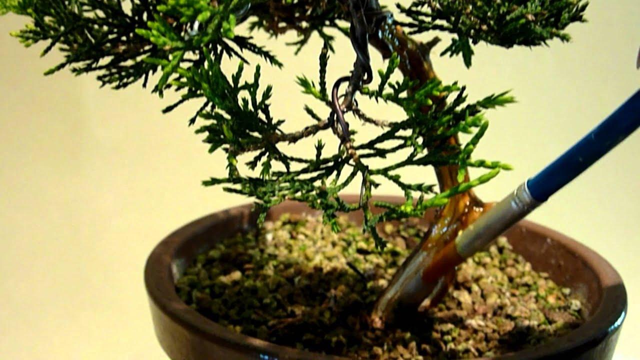 Como trabajar la madera seca de un bonsai youtube - Como cuidar un bonsai ...