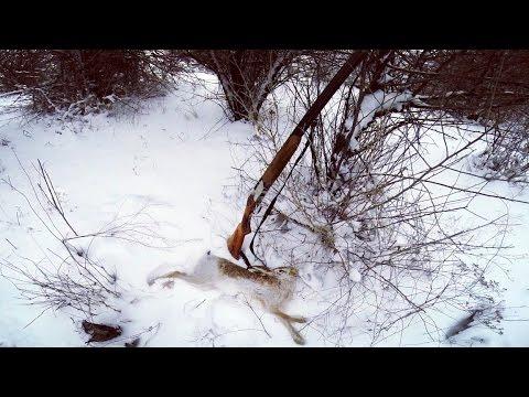 Охота на зайца. Тропление зайца. Крайний заяц сезона 2015 -2016. ТОЗ - 34