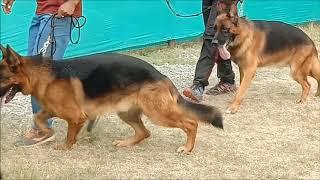 Dog Show Science City Kolkata l German Shepherd Dog In Dog Show
