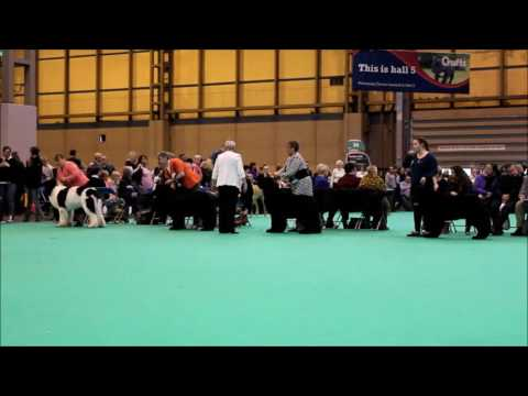 Crufts March 12, 2017 Newfoundland Junior male class (Kingsley 2nd)