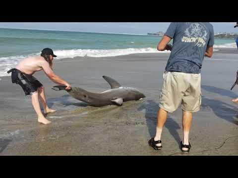 Group of Men Catch and Release Baby Great White Shark in Capistrano Beach, California