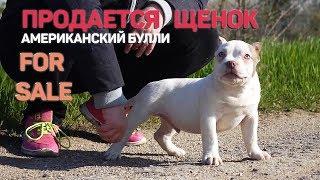 Американский Булли. Продается щенок от питомника RUSSIAN BULLS. Кобель 3 месяца. Тип покет.