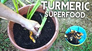 How To Grow Turmeric - Anti-inflammatory, Antioxidant, Cancer Fighting!