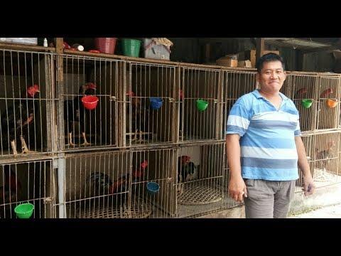 Ayam Bangkok Aduan di Jambi