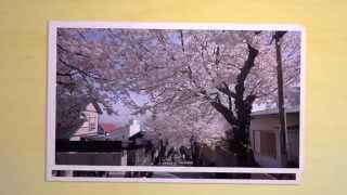 Cherry blossom tunnel - 桜のトンネル -