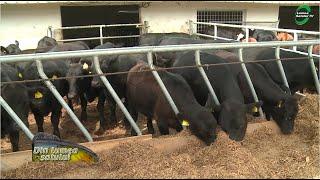 varicoză în vacile