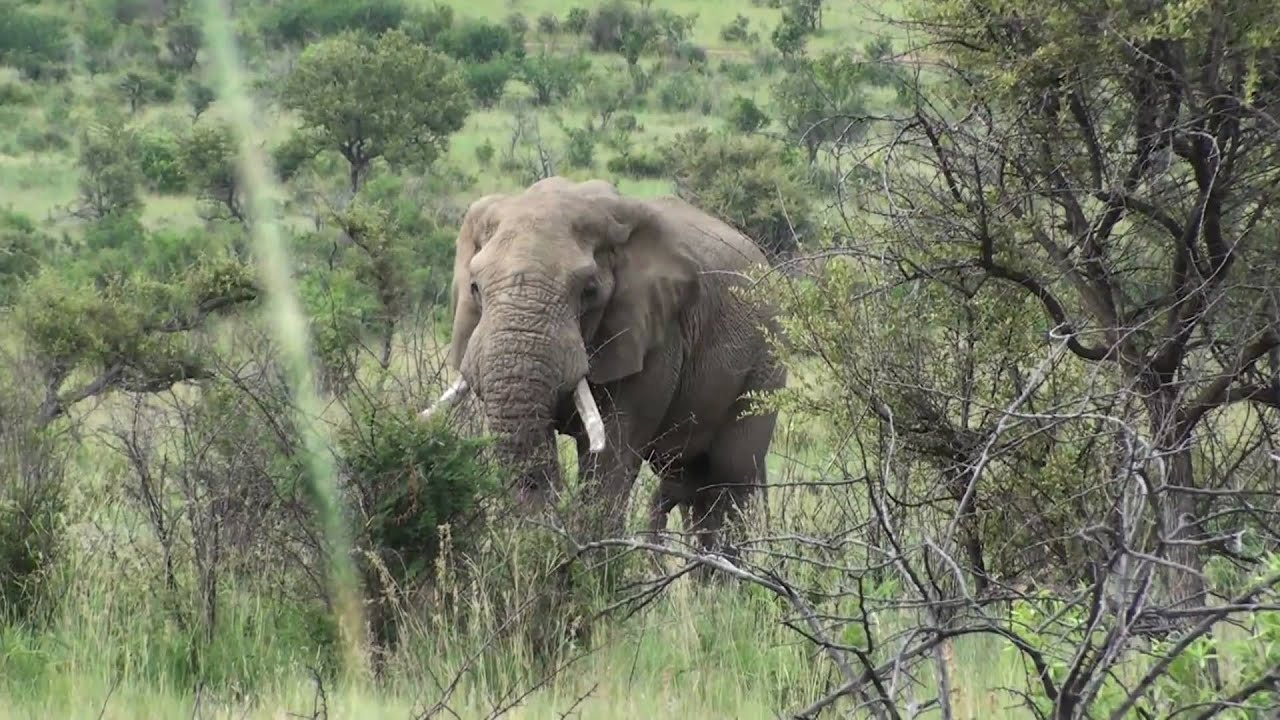 the fate of elephants at pilanesberg national park Enjoy a day trip safari tour to the pilanesberg national park view wild animals in their check out 7 reviews and photos of viator's pilanesberg safari day.