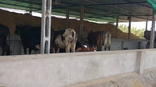 Satish Patel    Dairy farm.     In  Gujarat India