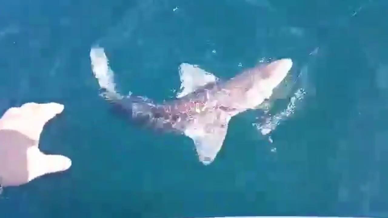 ловили рыбу а поймали акулу