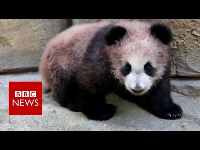baby-panda-yuan-meng-makes-debut-in-france-bbc-news
