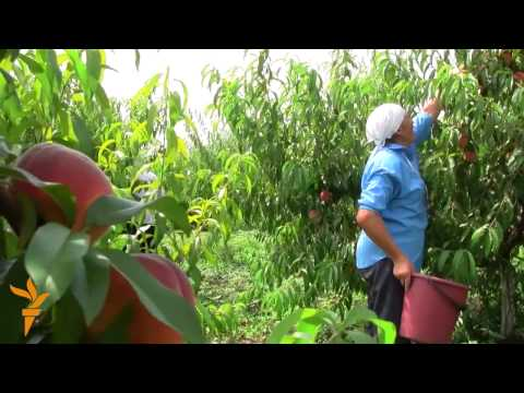 Moldovan Farmer Upbeat Despite Russia's Fruit Ban