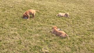 Kate & Tanner Labrador Retriever 2015 Puppies For Sale D5f9926e Af6c 46de 8394 47f20088fd95