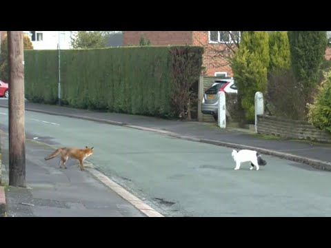 Fox is getting ready to attack cat – but watch as things take an unlikely turn