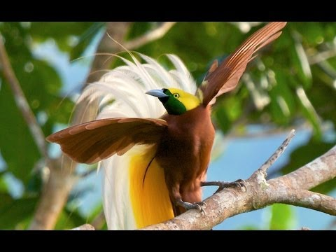 Rare Birds Of Paradise Lesser Bird-of-...