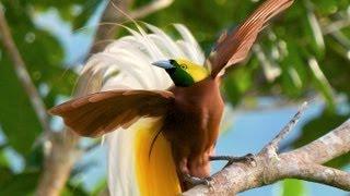 Lesser Bird-of-Paradise thumbnail