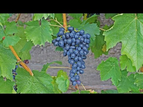 Сорта винограда для выращивания на даче характеристики