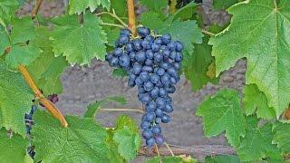 Виноград Аттика и виноград Юпитер из США. Синий виноград