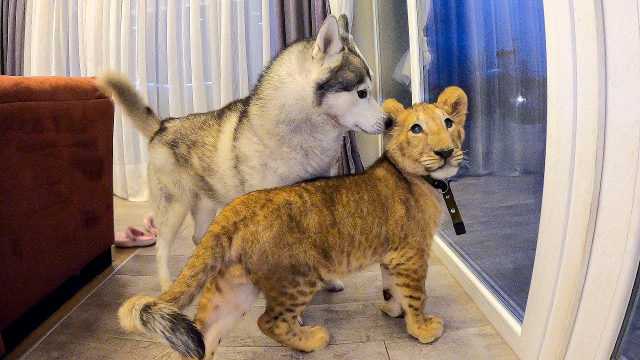 Африканский ЛЕВ в гостях у Хаски / Собака боится Львёнка / lion vs husky