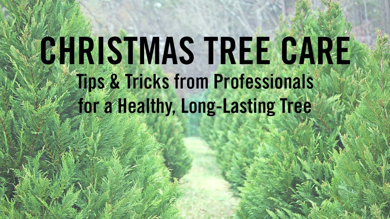 ask a professional how to care for your christmas tree