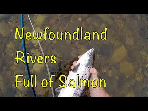 Newfoundland Rivers Are FULL Of SALMON