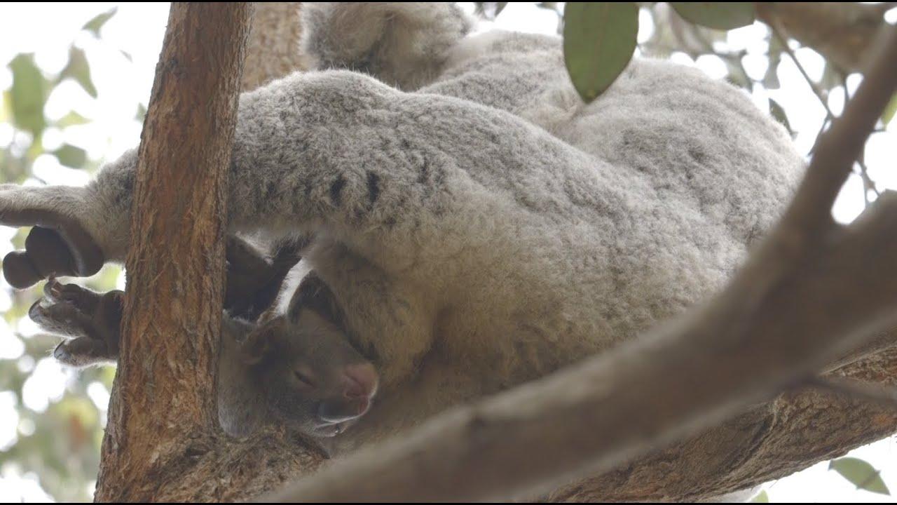 Cool Koala Facts! - YouTube
