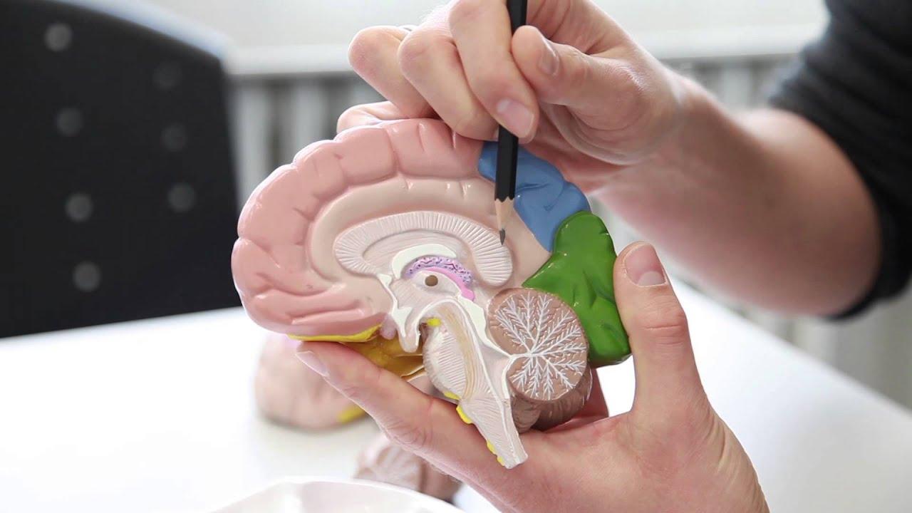 Aufbau und Funktion des menschlichen Gehirns - YouTube