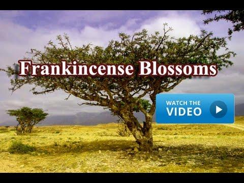Frankincense Blossoms