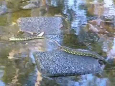 Snakes In My Natural Swimming Pool Youtube