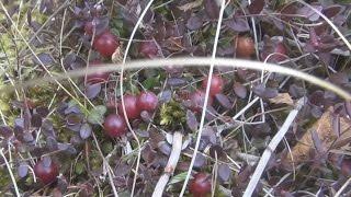 Сбор ягоды клюквы