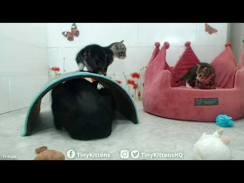 Princess Consuela playing with her kittens!  TinyKittens.com