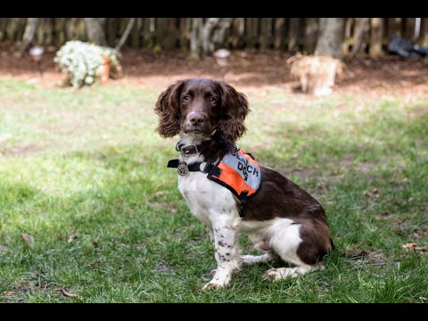 4 month old field-bred English springer spaniel puppy in training as search and rescue K-9